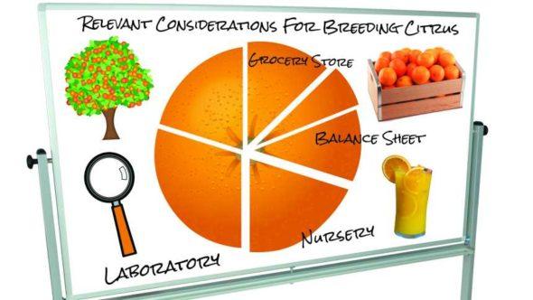 Citrus variety development white board illustration