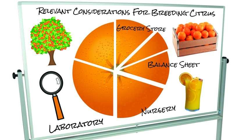 For Citrus Variety Development, The Drawing Board Is Full
