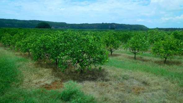 Citrus grove in Cuba