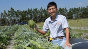 Artichokes Emerging as Viable Alternative for Florida Farmers