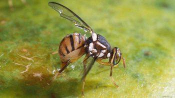 Closeup of Oriental fruit fly causing damage