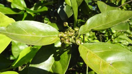 First Stab At Florida Citrus Production Predicts Dire Decline