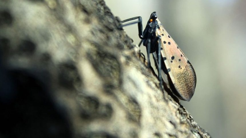 Farmers on Alert as Spotted Lanternfly found in Third State