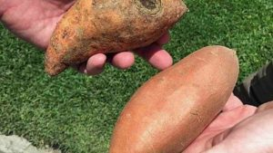 Mexico Has Potential For U.S. Sweet Potato Exports
