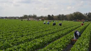 Workers picking in a Florida strawberry field