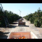 California Orange Harvest