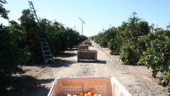 California Orange Harvest