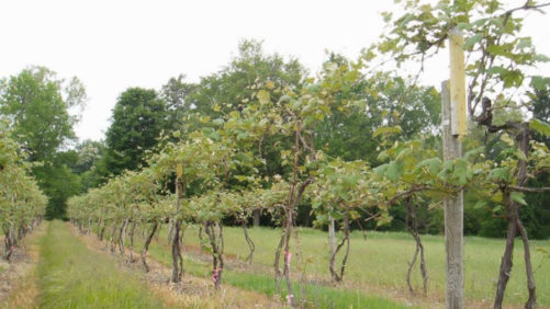 Model Vineyard Looks To Maximize Concord Production