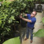 UF/IFAS researcher Fred Gmitter checking mandarin citrus trees