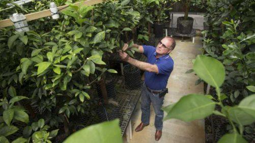 Genetic Markers Point Way To Breeding Better Mandarin Oranges