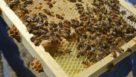 A new Washington State University finds that in the real world, neoniotinoids pose no practical threat to honeybees. (Photo credit: Maegan Murray, WSU Tri-Cities)