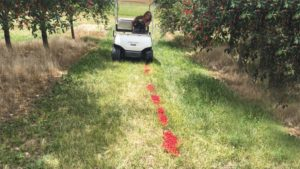 Growers should remove unharvested cherries and destroy them to cut spotted wing drosophila populations, as Nikki Rothwell demonstrates with this golf cart.