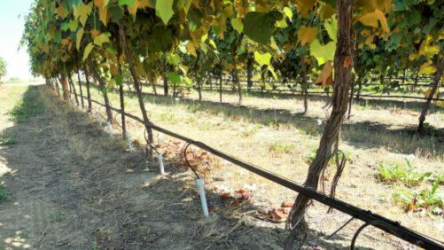 Deeper Irrigation Method Showing Promise For Vineyards