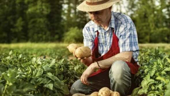 Organic potato grower staring at his crops