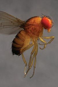 SWD: Small fly, big problem. (Photo credit: Elizabeth Beers, Washington State University)