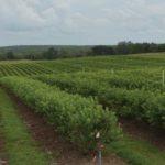 Spring Valley Farms blueberries near Umatilla, FL