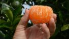 Tango citrus fruit peeled