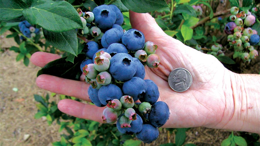 Proper pruning can help you achieve bigger blueberries, such as these. (Photo credit: Bob McConnell)