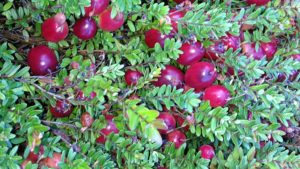 Wisconsin Is The Top Cranberry Producer In Nation, World
