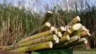 Cut sugarcane in South Florida