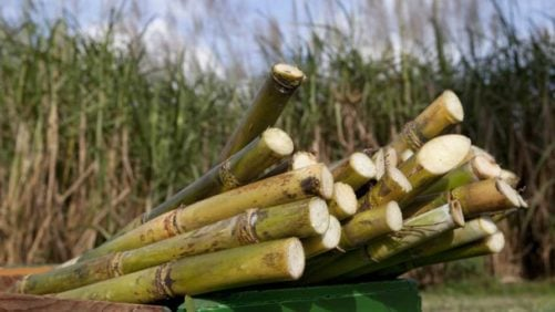 Scientists Fervent To Find Cure For Deadly Sugarcane Virus