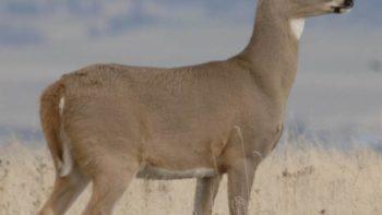 deer from usda