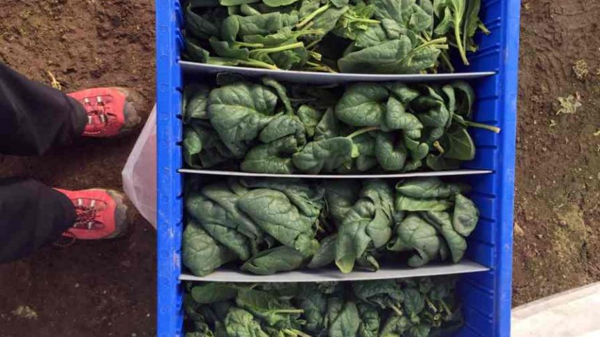Researchers Find Cold Weather Makes For Tastier High Tunnel-Produced Spinach