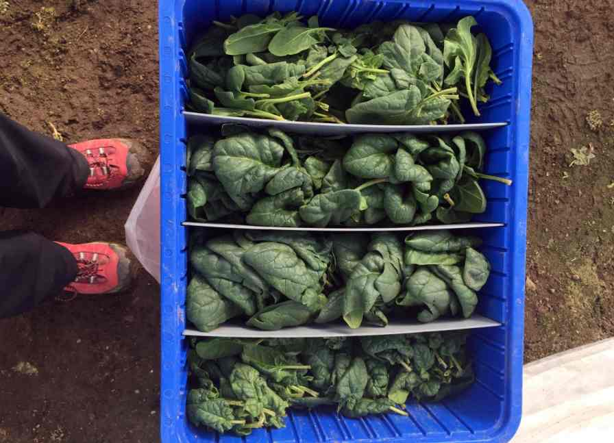 These varieties of high tunnel-produced spinach were harvested on Feb. 19, 2016 in New Hampshire. Photo credit: Kaitlyn Orde, University of New Hampshire