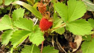Researchers Unravel Genetic Ancestry Of Cultivated Strawberry