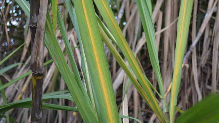 Sugarcane yellow leaf virus symptoms seen in leaves