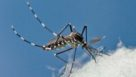Asian tiger mosquito closeup