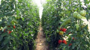 SARE Grant Expands Tomato Research In High Tunnels