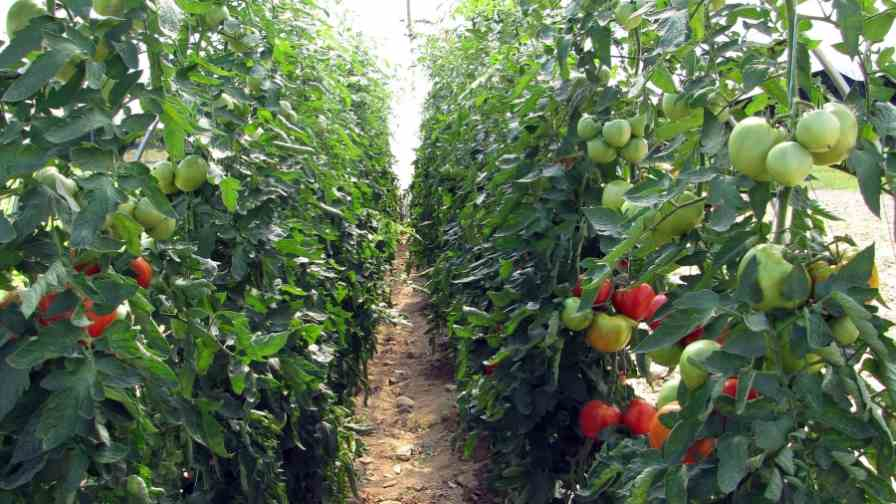 Researchers plan to identify soil test critical levels for nitrogen and potassium, and calibrate common soil tests under high tunnel conditions to determine appropriate methods for predicting nutrient availability for different varieties of tomatoes, demonstrate the benefit of plants to increase biodiversity, and reduce pest problems. Photo credit: Lori Wright/NHAES