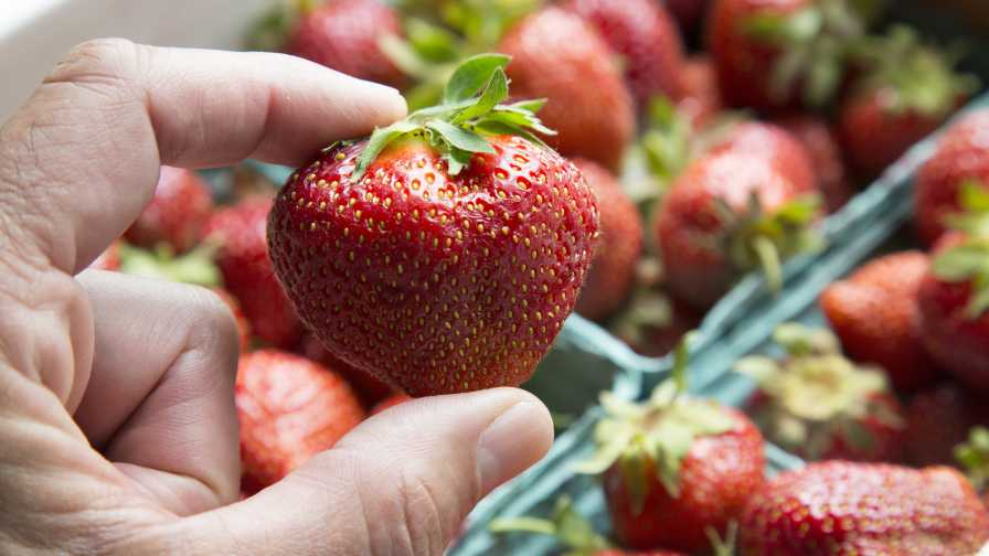 Closeup of the Archer strawberry from Cornell University