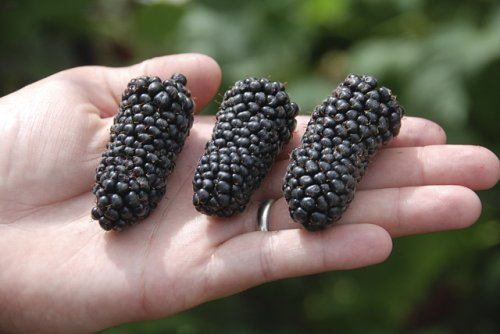 'Columbia Giant' is a new ARS blackberry cultivar. (Photo credit: Chad Finn, USDA-ARS)