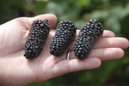 'Columbia Giant' is a new ARS blackberry cultivar. (Photo credit: Chad Finn, USDA-ARS)