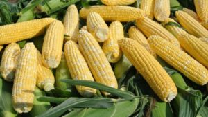 Abbott & Cobb, Inc. Offers High-Performing Sweet Corn Seed