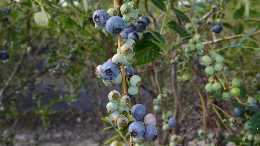 Closeup of a 'Keecrisp' blueberry cluster