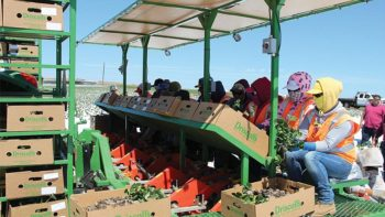 Mechanical strawberry transplanter, the first of its kind in California, developed from collaboration among Driscoll's, Plantel, and Solex.  (Photo credit: Surendra Dara)