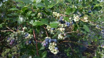 Clusters of 'Patrecia' blueberries