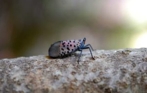 spotted-lanternfly-free-use