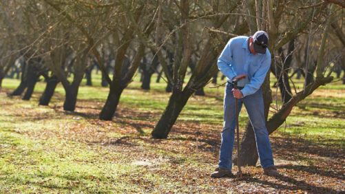 Use Soil Sampling To Inform Your Almond Orchard Fumigation Decisions