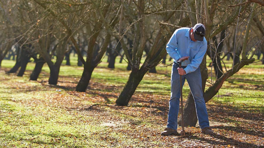 A thorough assessment of nematode populations by conducting soil sampling and laboratory examination is essential before deciding on soil fumigation. (Photo credit: Almond Board of California)