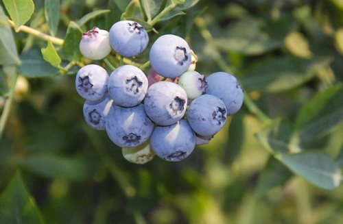 'Baby Blues' is a new ARS blueberry cultivar. (Photo credit: Chad Finn, USDA-ARS)