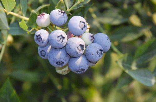 'Baby Blues' is a new ARS blueberry cultivar. (Photo credit: Chad Finn, USDA-ARS)