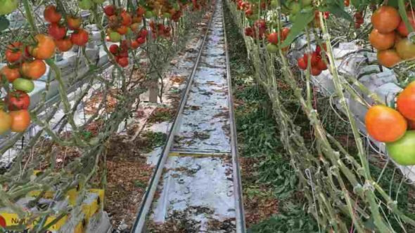 To have product ready to ship year-round, NatureFresh interplants its tomatoes, which involves adding a new crop behind plants that are currently producing tomatoes.