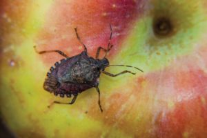 Brown marmorated stink bug on an apple, one its favorite fruits. (Photo credit: Jim Walgenbach)