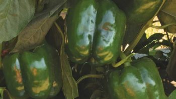 Galleon green peppers from Clifton Seed