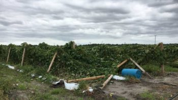 Hurricane Matthew-Damaged trellises of Asian vegetables