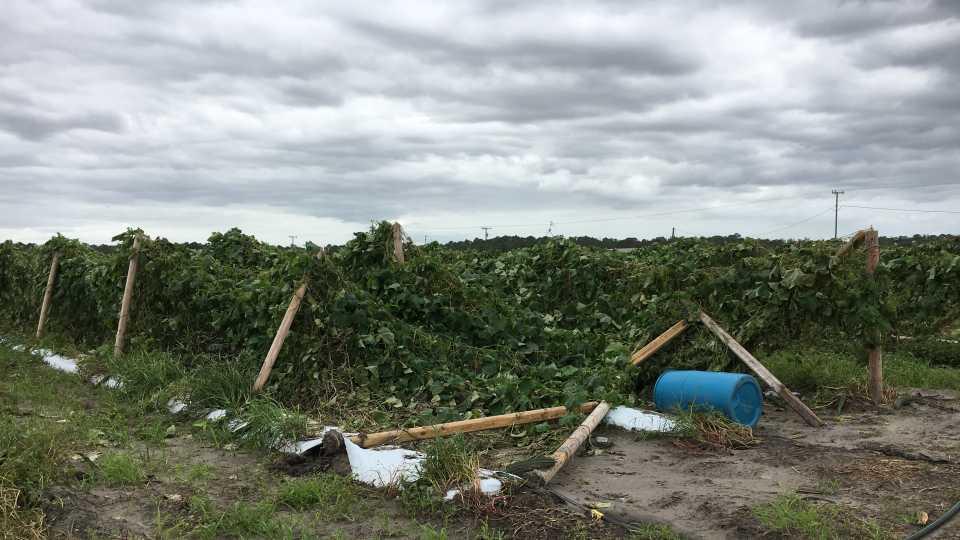 Hurricane Matthew-Damaged trellises of Asian vegetables